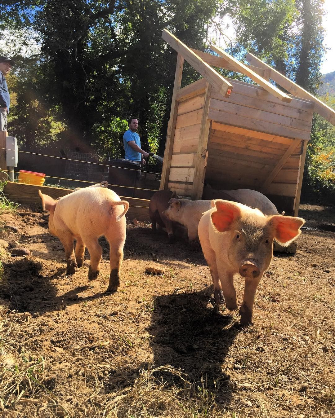 The New Forever And Ever Pig Feeder Big Pigs And Not So